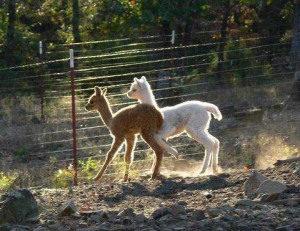 Alpaca crias run and play